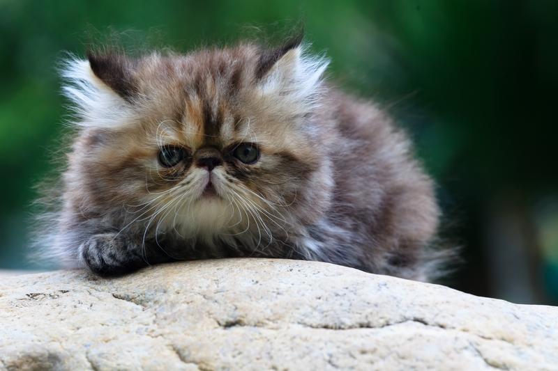 Feline Heartworm Q & A