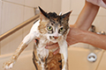 Tips for Giving Your Cat a Bath