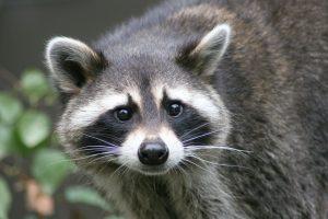 Longwood Vet Rabies raccoon
