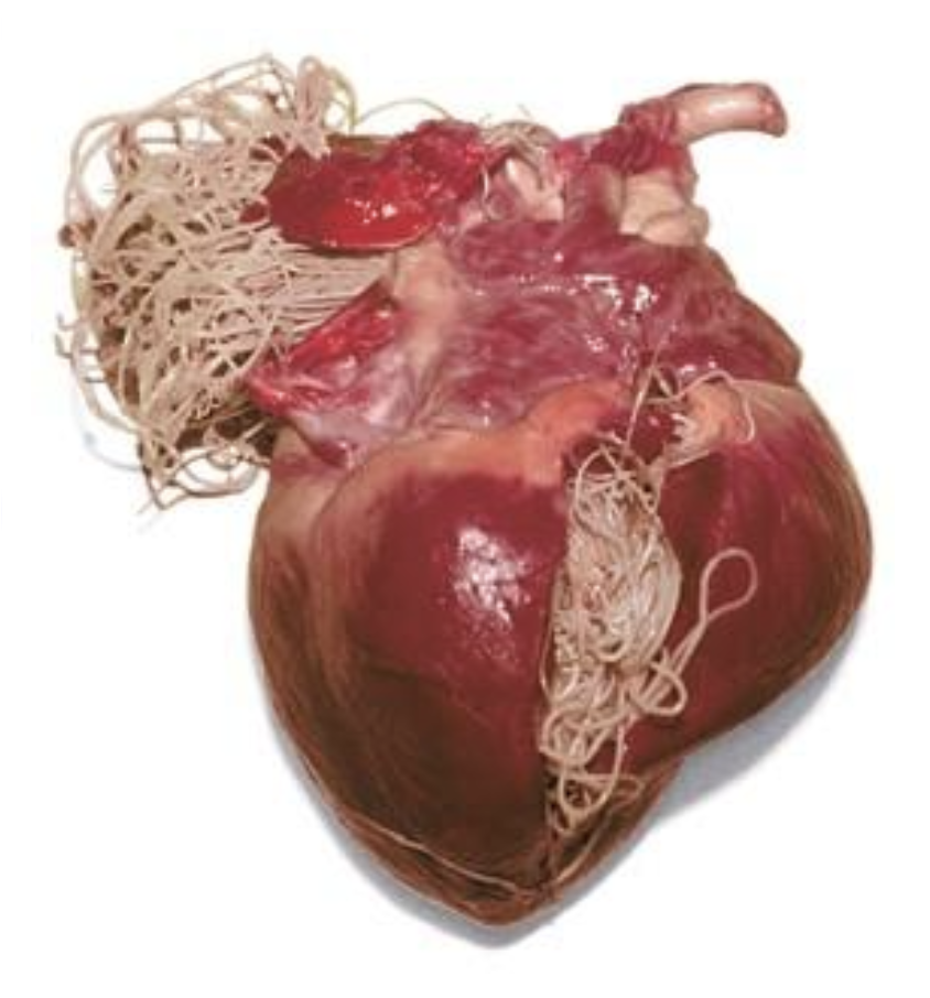 How To Prevent Heartworm Disease | Longwood Veterinary Center