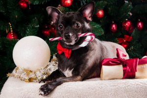 Check out our Holiday Pet Safety tips to help safeguard your cats and dogs from potential harm from holiday plants like mistletoe, poinsettias, and pine trees.