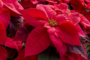 Holiday pet safety is paramount, so make sure you shield your dogs and cats from potentially harmful holiday plants like poinsettias, mistletoe, lilies, and pine trees.